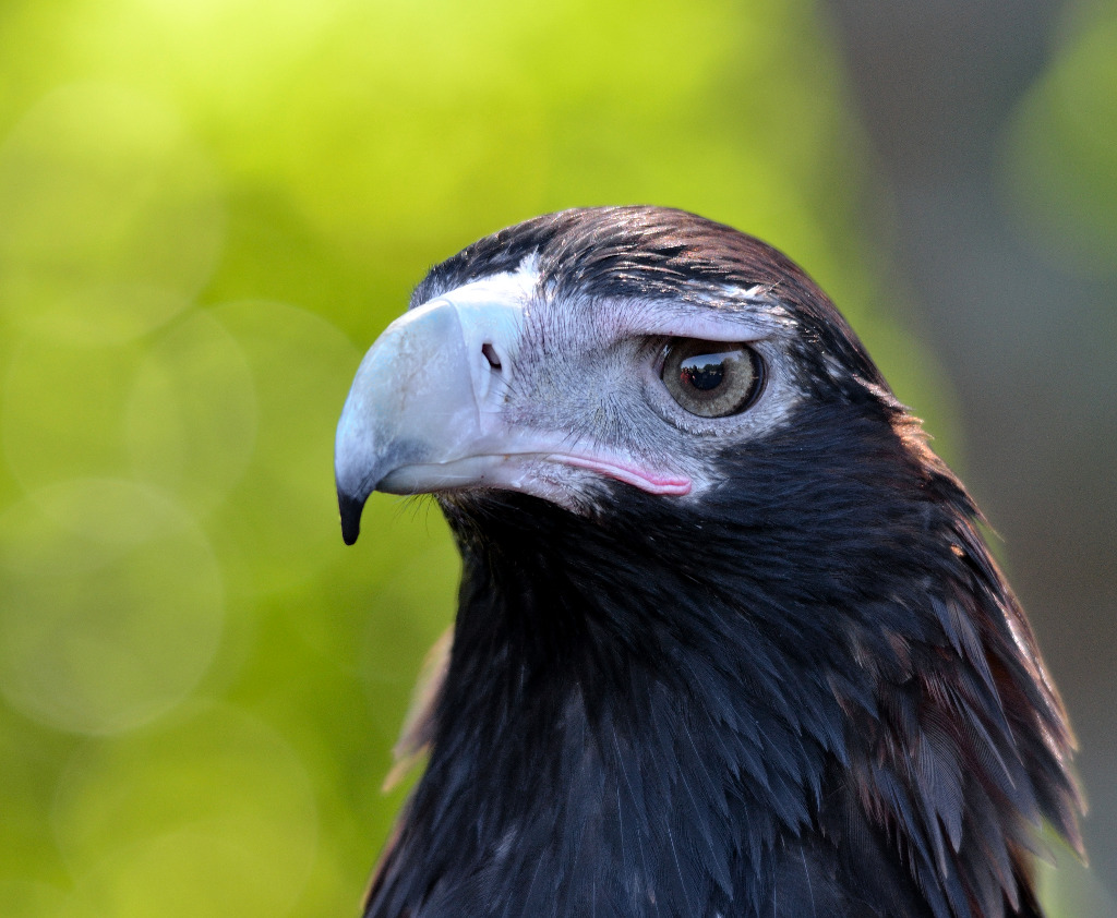 Wedge Tailed Eagle svg #12, Download drawings