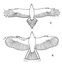 Wedge Tailed Eagle svg #14, Download drawings