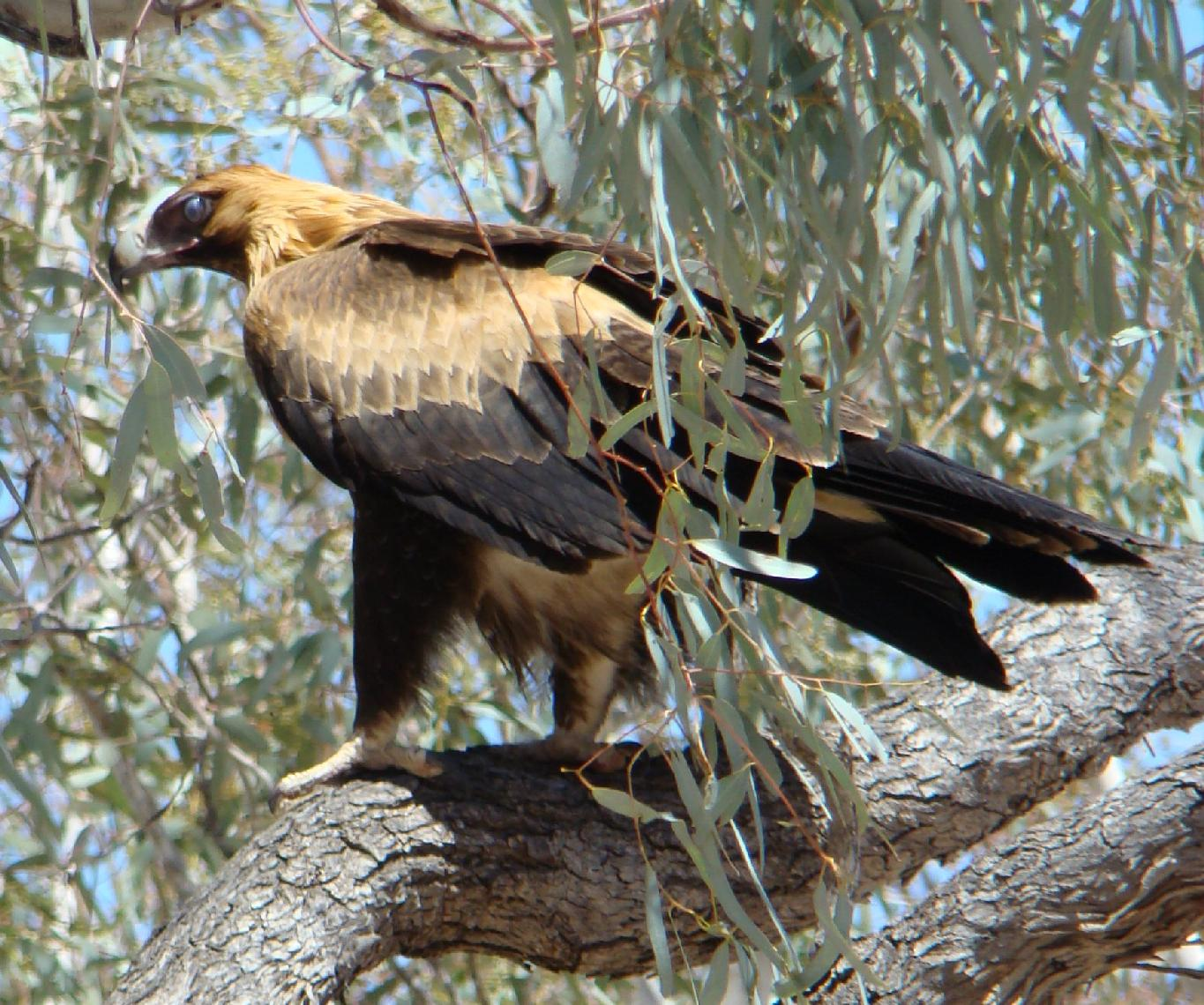 Wedge Tailed Eagle svg #4, Download drawings