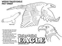 Wedge Tailed Eagle svg #11, Download drawings