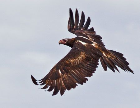 Wedge Tailed Eagle svg #18, Download drawings