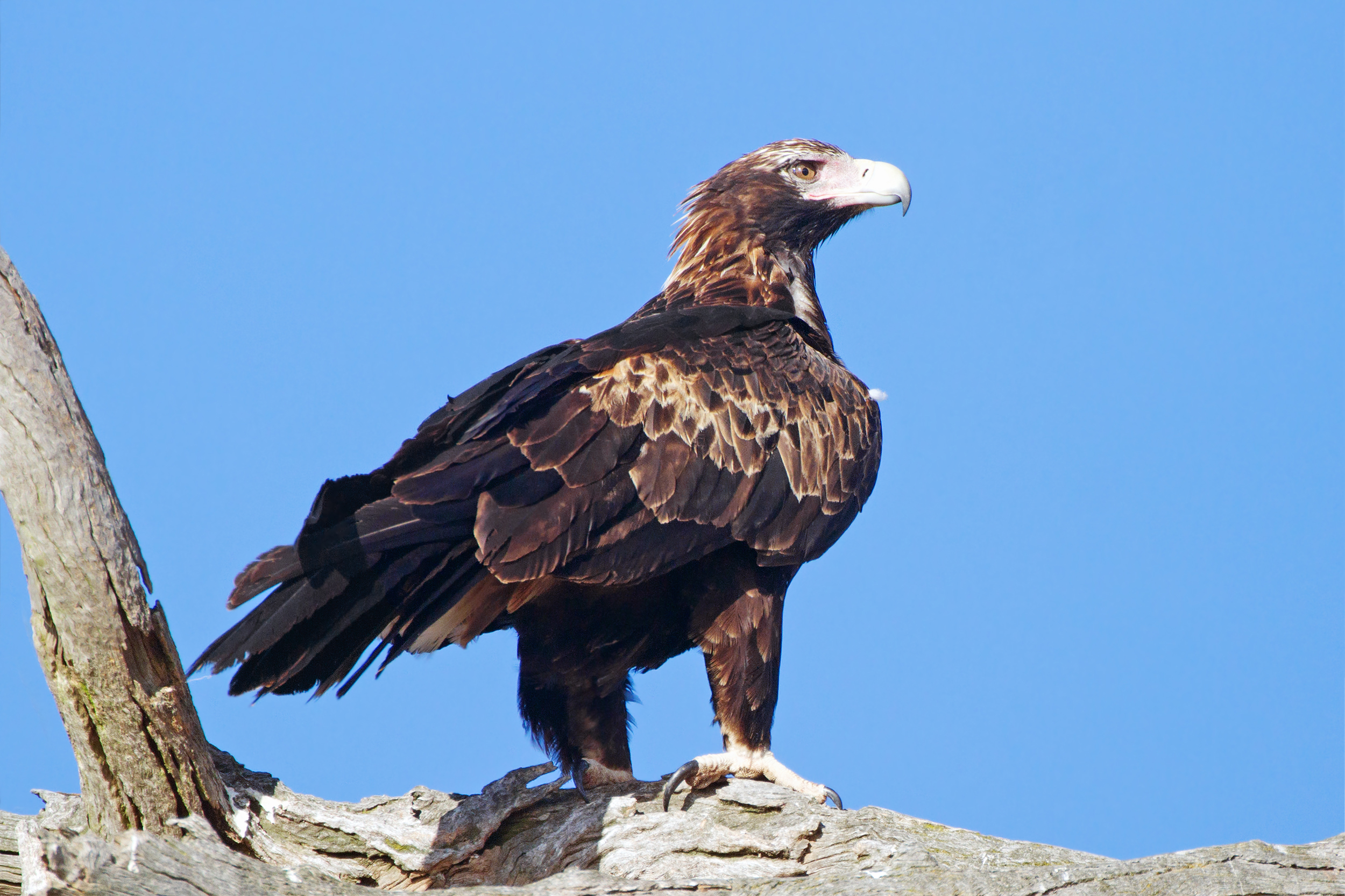 Wedge Tailed Eagle svg #8, Download drawings