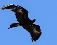 Wedge Tailed Eagle svg #17, Download drawings