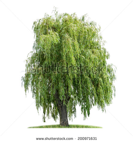 Weeping Willow clipart #12, Download drawings