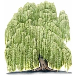 Weeping Willow clipart #1, Download drawings
