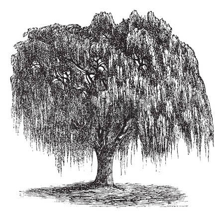 Weeping Willow clipart #19, Download drawings
