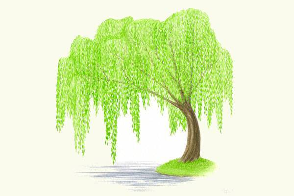 Weeping Willow clipart #13, Download drawings