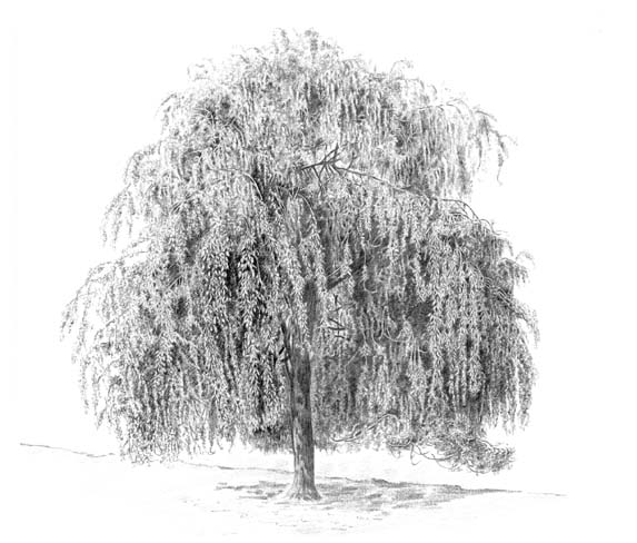 Weeping Willow coloring #9, Download drawings