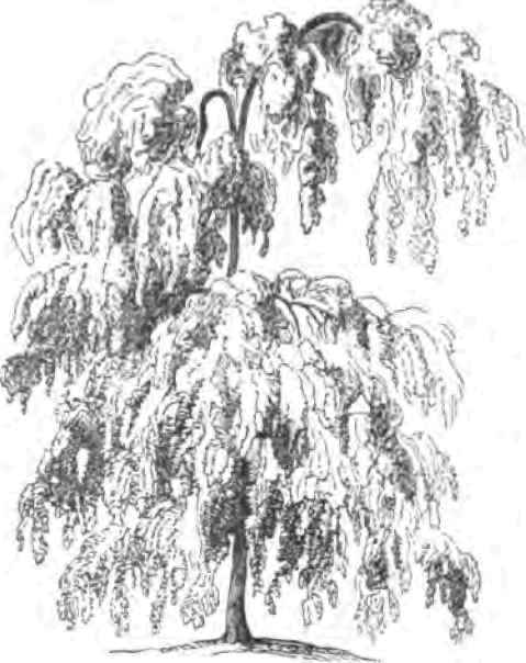 Weeping Willow coloring #6, Download drawings