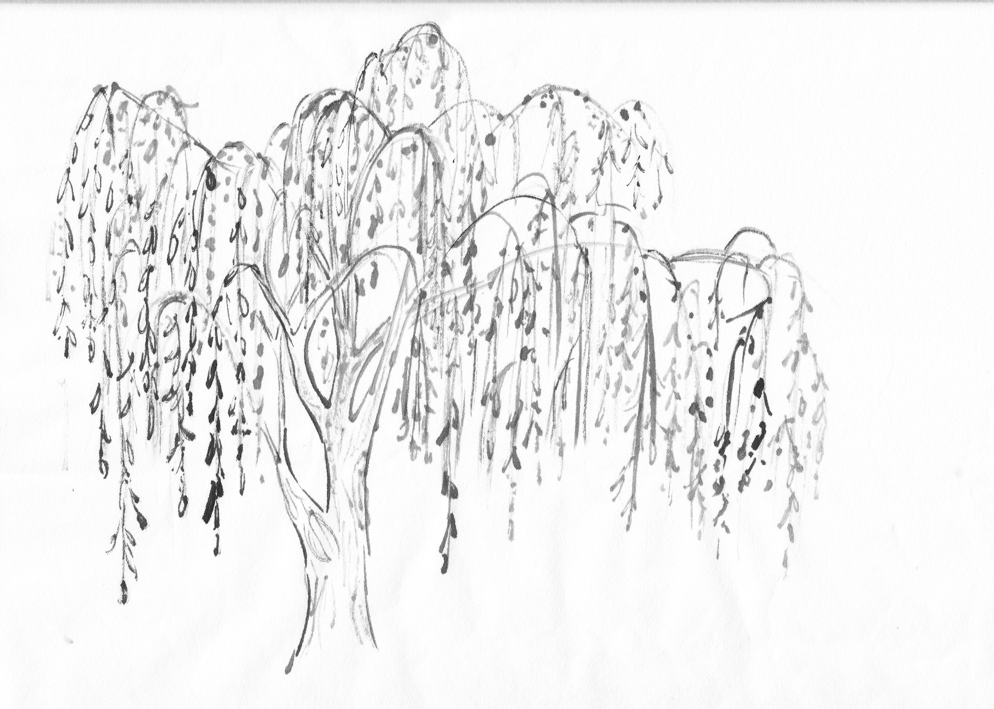 Weeping Willow coloring #16, Download drawings