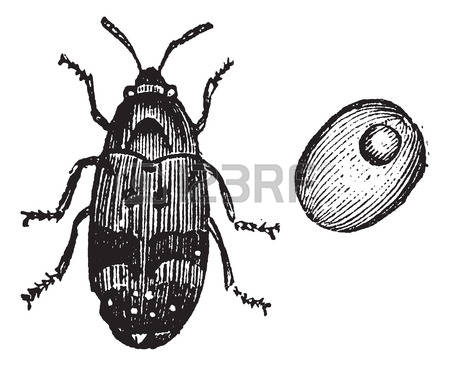 Weevil clipart #6, Download drawings
