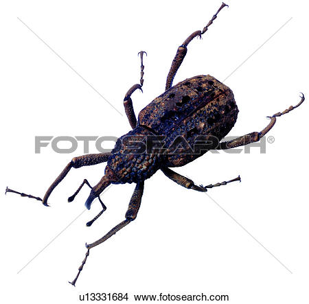 Weevil clipart #9, Download drawings