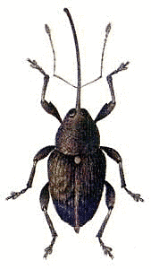 Weevil clipart #3, Download drawings