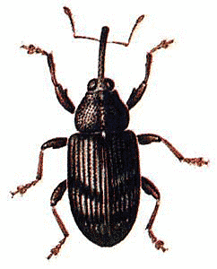 Weevil clipart #16, Download drawings
