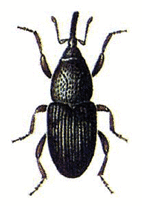 Weevil clipart #19, Download drawings