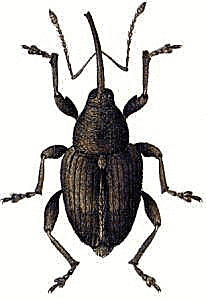 Weevil clipart #18, Download drawings