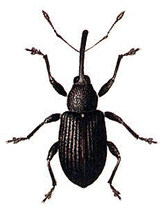 Weevil clipart #11, Download drawings