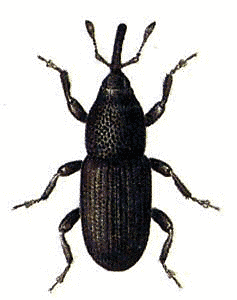 Weevil clipart #7, Download drawings