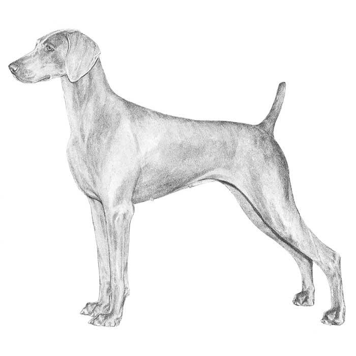 Weimeraner coloring #19, Download drawings