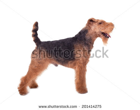 Welsh Terrier clipart #10, Download drawings