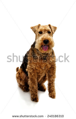 Welsh Terrier clipart #8, Download drawings