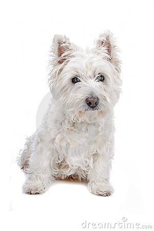 West Highland White Terrier clipart #20, Download drawings