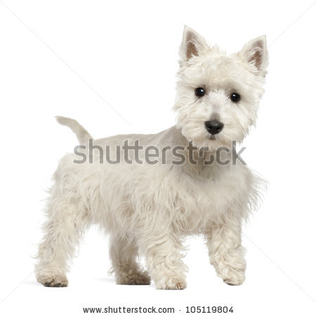West Highland White Terrier clipart #5, Download drawings