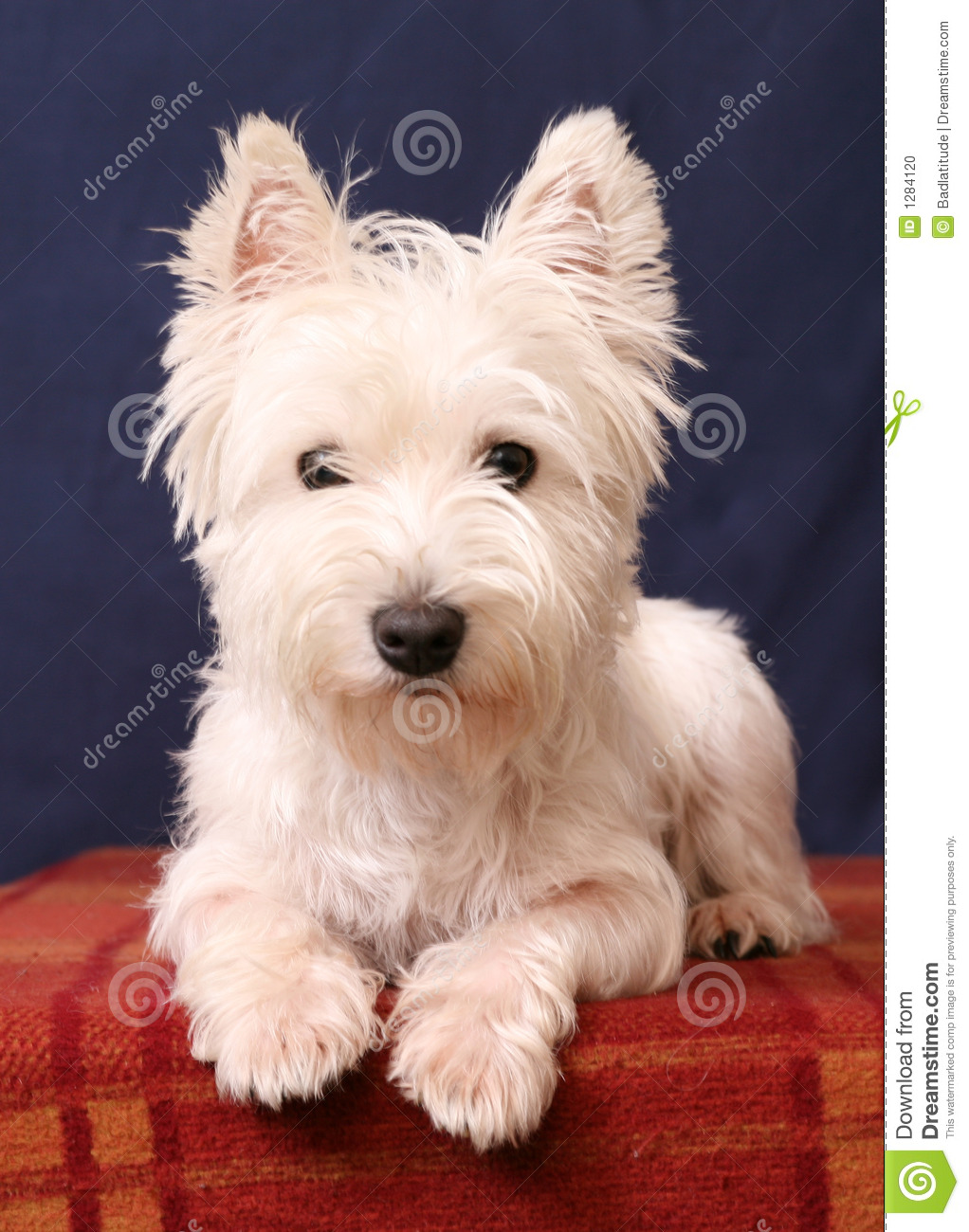 West Highland White Terrier clipart #6, Download drawings