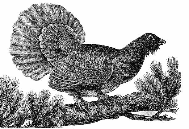 Western Capercaillie clipart #20, Download drawings