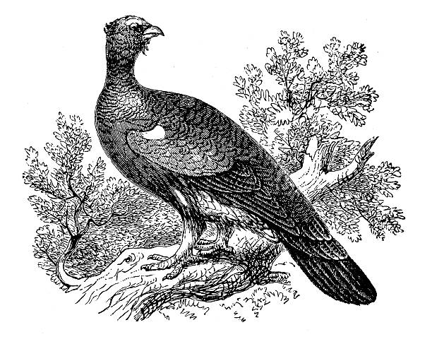 Western Capercaillie clipart #12, Download drawings