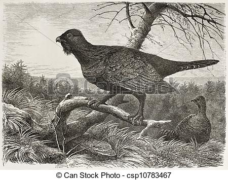 Western Capercaillie clipart #8, Download drawings