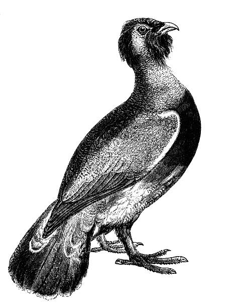 Western Capercaillie clipart #2, Download drawings