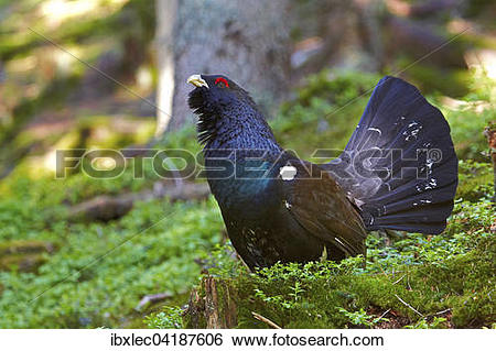Western Capercaillie clipart #19, Download drawings