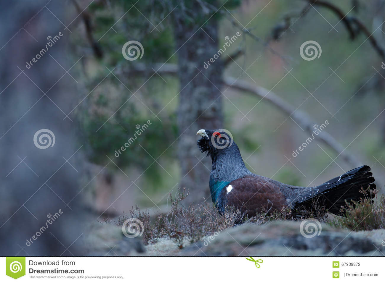 Western Capercaillie clipart #5, Download drawings