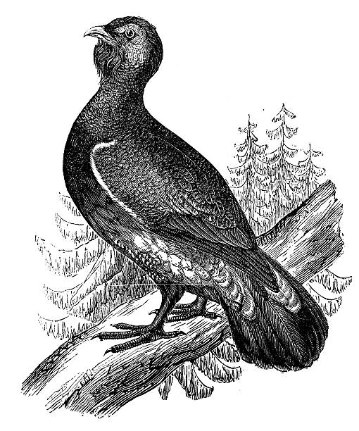 Western Capercaillie clipart #17, Download drawings