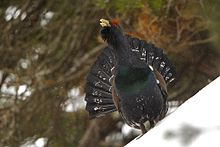 Western Capercaillie coloring #20, Download drawings