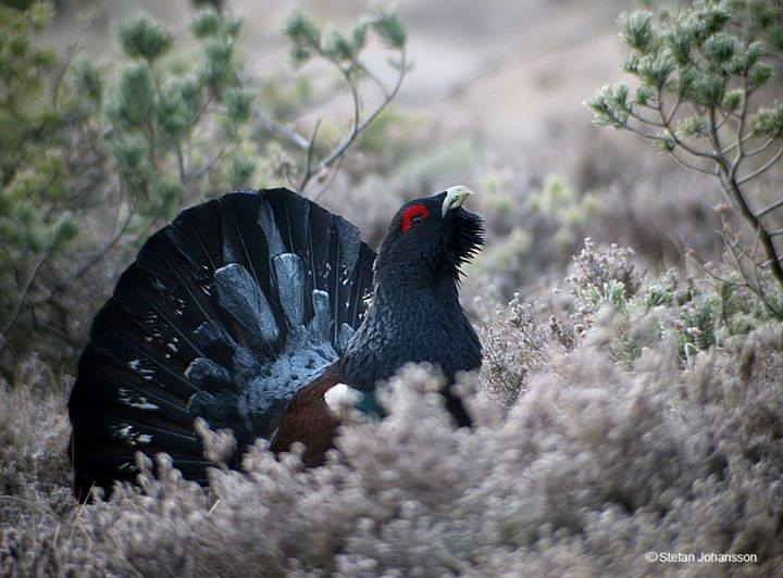 Western Capercaillie svg #13, Download drawings