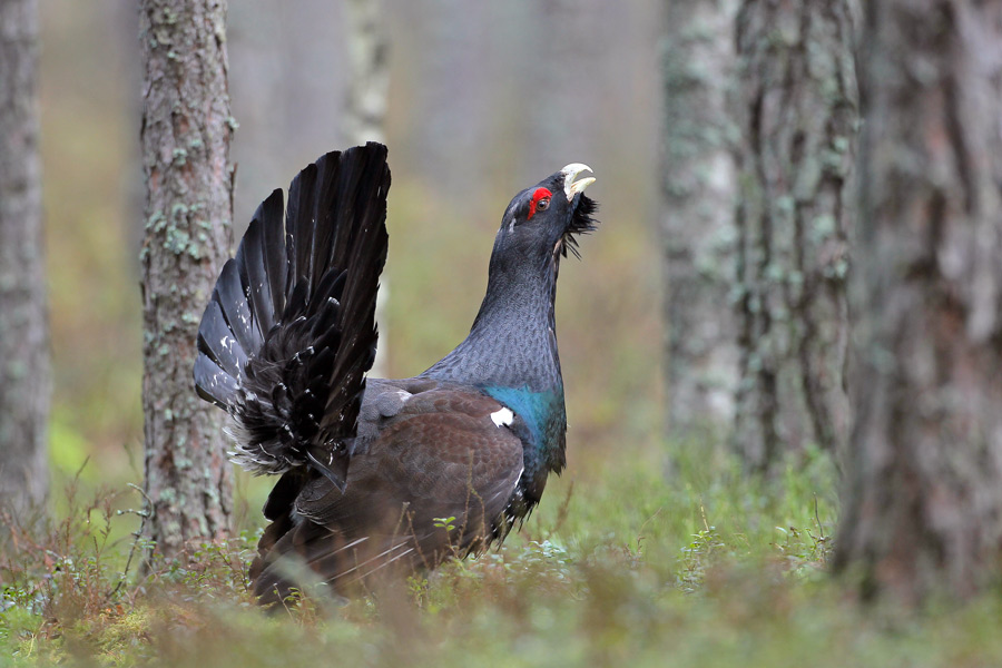 Western Capercaillie svg #18, Download drawings