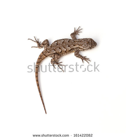 Western Fence Lizard clipart #18, Download drawings