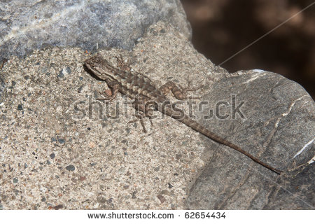 Western Fence Lizard clipart #10, Download drawings