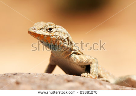 Western Fence Lizard clipart #5, Download drawings