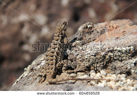 Western Fence Lizard clipart #6, Download drawings