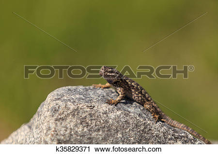 Western Fence Lizard clipart #4, Download drawings