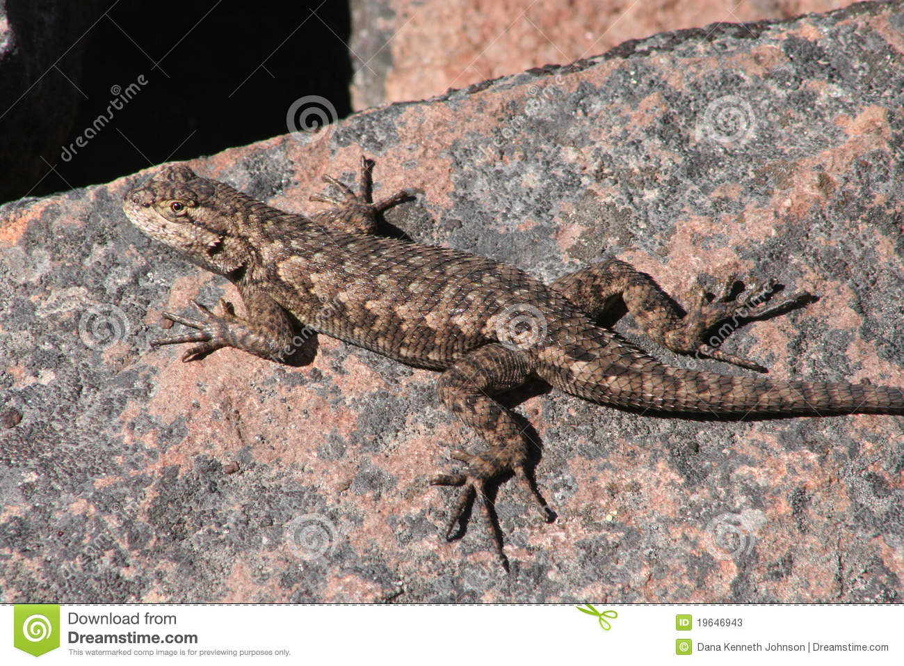 Western Fence Lizard clipart #2, Download drawings