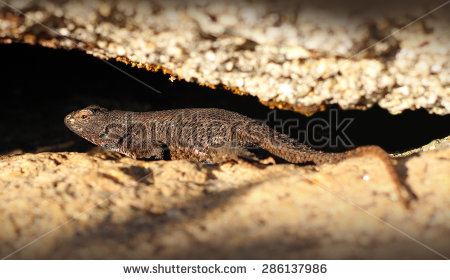 Western Fence Lizard clipart #1, Download drawings