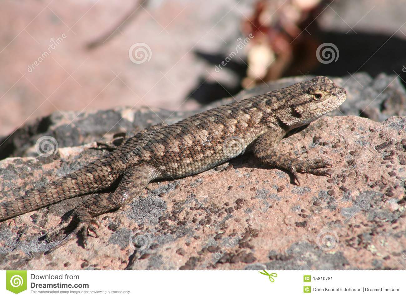 Western Fence Lizard clipart #19, Download drawings