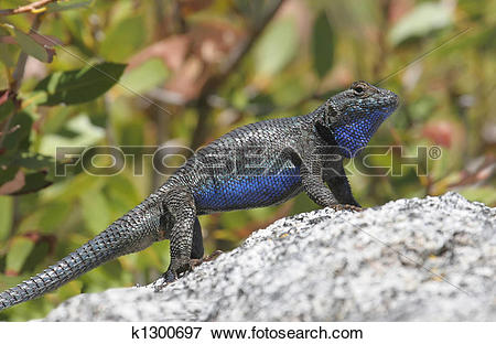 Western Fence Lizard clipart #17, Download drawings