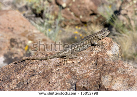 Western Fence Lizard clipart #16, Download drawings