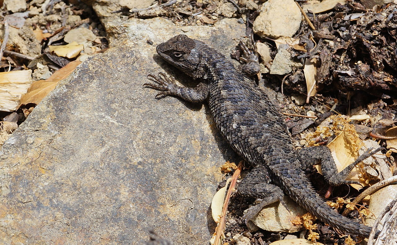 Western Fence Lizard clipart #8, Download drawings