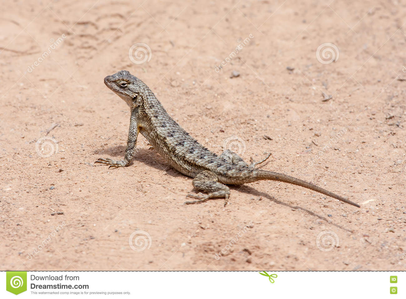Western Fence Lizard clipart #13, Download drawings